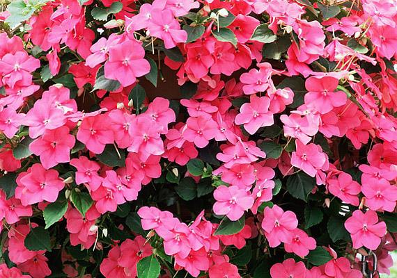 A nebáncsvirág - Impatiens - nevével ellentétben nem különösebben érzékeny növény, napon és félárnyékban egyaránt jól érzi magát.