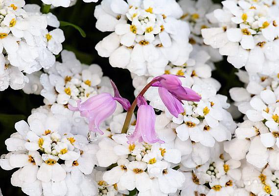 A tatárvirág - Iberis - legfeljebb 25 centiméter magasra növő, erőteljes, könnyen tartható, ragyogó fehér virágú balkonnövény.