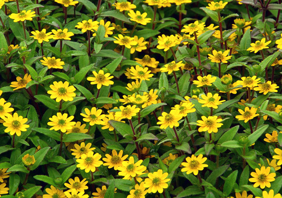A heverő tömpevirág - Sanvitalia procumbens - remekül érzi magát a balkonládákban. Virágjai olyanok, mintha apró napraforgók lennének.