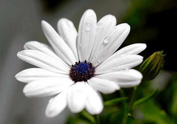 A cserjés margitvirág - Argyranthemum frutescens - népszerűségét szívós természetének és októberig nyíló virágainak köszönheti.
