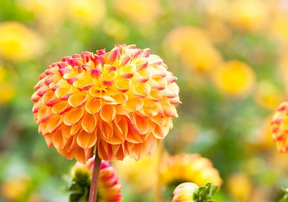 A dália - Dahlia - a napos, szélvédett helyet kedveli, ahová a nap is odasüt. Rendszeres locsolás mellett egészen őszig hozza a szebbnél szebb virágokat.