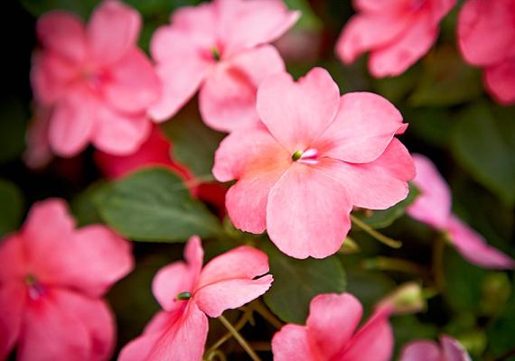A nebáncsvirág - Impatiens - neve nagyon megtévesztő, ugyanis az apró, rózsaszín szirmú virág minden viszontagságot jól visel, nem lehet csak úgy könnyedén elpusztítani.