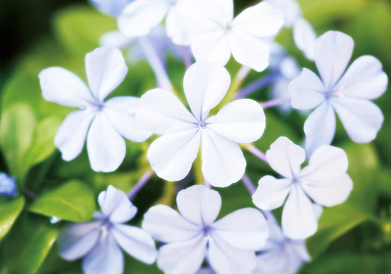 Az ólomvirág - Plumbago - szintén jól viseli a napfény általi viszontagságokat, és akár törzsesre, akár bokrosra hagyva is nevelheted.