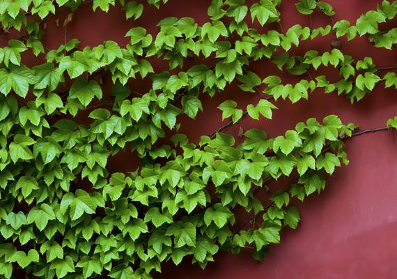 A borostyán - Hedera - nem csupán a házak falára felfutva lehet mutatós. Ideális balkonnövényként is, emellett bent, cserépben is tarthatod, amíg kicsi.