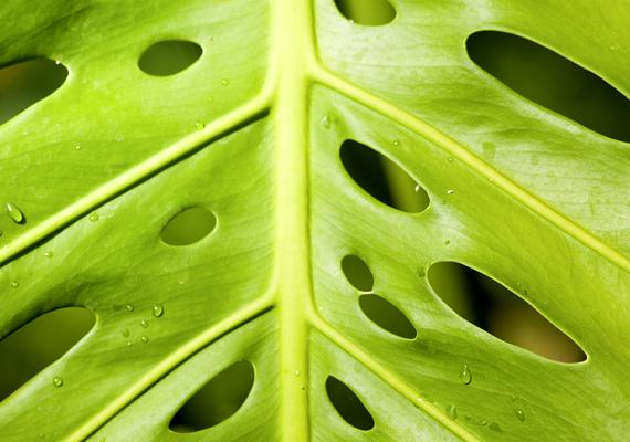 A nagy leveleiről ismert filodendron - Philodendron bipinnatifidum - szobahőmérsékleten és világos helyen érzi jól magát. Óvd a naptól, és csak mérsékelten öntözd!