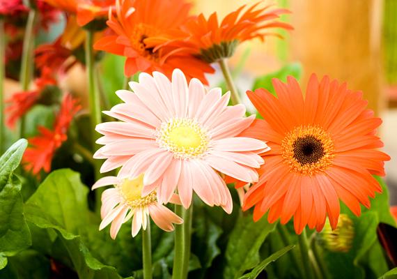 Amellett, hogy a gerbera - Gerbera - a legnépszerűbb vágott virágok egyike, cserépben is tarthatod - ez különösen igaz mini változataira.