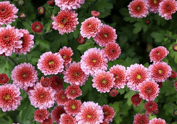 A krizantém - Chrysanthemum - víz- és páraigényes növény, cserébe azonban hozzájárul a lakásban a levegő megtisztításához.