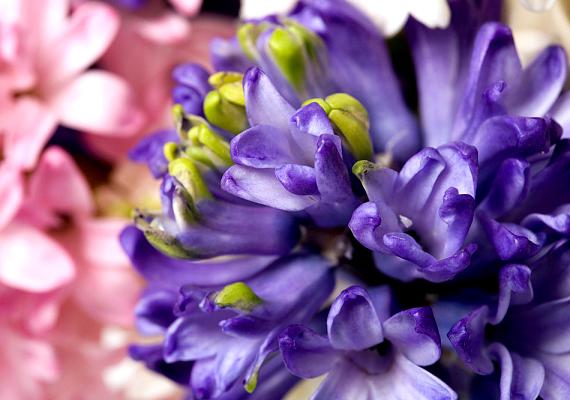 A jácint - Hyacinthus - mesés illatával és üde színeivel a tavasz egyik első hírnöke. A lakásban, cserépben is tarthatod, azonban, miután elnyílt, a hagymát ültesd ki a szabadba.