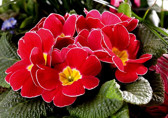 A szobakankalin - Primula - szintén hangulatos kora tavaszi virág, mely a hűvös és félárnyékos helyeket kedveli.