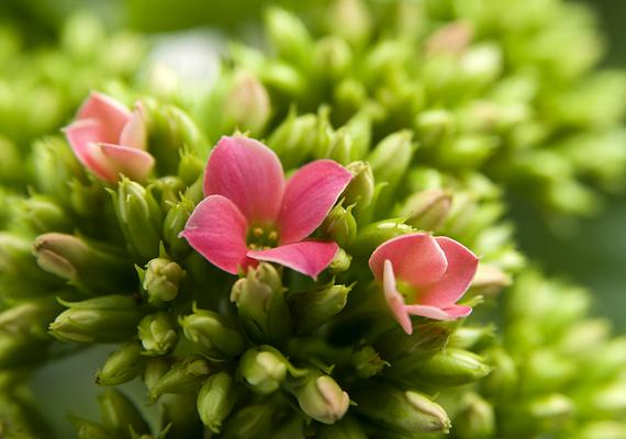 Szintén tavasszal kápráztat el legszebb bimbóival a korallvirág - Kalanchoe blossfeldiana -, mely igénytelen szobanövény, és igen alkalmazkodó.