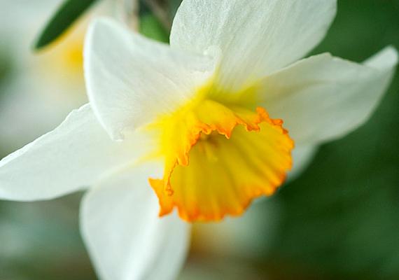 A nárciszt - Narcissos - is ültetheted cserépbe, azonban, mivel a lakásban kevés a fény, és nagy a meleg, hamar elvirágzik - tedd hűvösebb, de napfényes helyre.