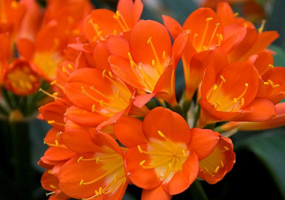 A szobaliliom - Clivia miniata - buja, színes virágai, melyek egész tavasszal csodás díszei lehetnek otthonodnak, a viszonylag meleg lakást és a mérsékelt fényt kedvelik.