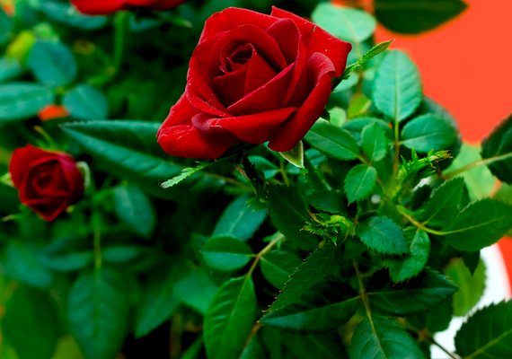 A törperózsa - Rosa chinensis - egész évben lakásod dísze lehet, azonban legszebb virágait tavasszal hozza.
