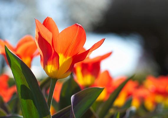 A tavaszi tulipánra - Tulipa - ugyanaz igaz, mint a jácintra, érdemes kiültetni a kertbe, azonban cserépben is felnevelheted.