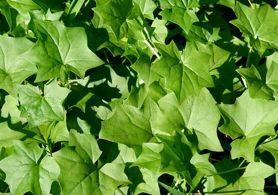 A fokföldi borostyán - Delairea odorata - szintén gyorsan növekszik, és könnyen tartható. Kedveli a sok fényt, emellett locsold rendszeresen.