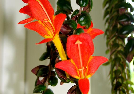 A szégyenlősvirág - Aeschynanthus - kényesebb növény, ugyanakkor csodaszép dísze lehet a lakásnak. Ügyelj rá, hogy ne legyen huzatban vagy hideg helyen, és érje mindig fény. Nyáron gyakran, télen ritkábban kell locsolni, mivel azonban magas a páraigénye, rendszeresen permetezd.