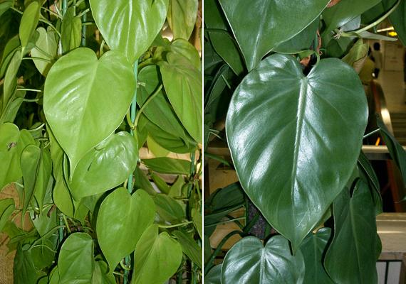 A kúszó filodendron - Philodendron scandens - gyorsan növekszik, ugyanakkor egyszerű gondozni. Jól érzi magát szobahőmérsékleten, azonban tartsd mindig nedvesen a földjét, ügyelve arra, hogy a cserépben ne pangjon a víz.