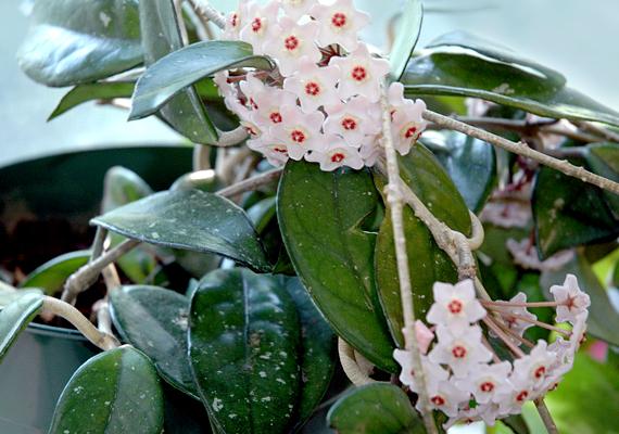 A porcelánvirág - Hoya carnosa - meseszép, ráadásul gyorsan növekszik, és illatos virágokkal ajándékoz meg. Nem túl fényigényes, azonban tartsd mindig enyhén nedvesen a földjét.
