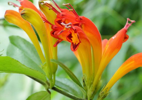 A csuklyás szájvirág - Columnea banksii - nem túl fényigényes kúszónövény, mely csodás sötétzöld levelekkel és narancssárga virágokkal büszkélkedhet. Öntözd rendszeresen, tartsd nedvesen a földjét, azonban ügyelj rá, hogy ne pangjon cserepében a víz.