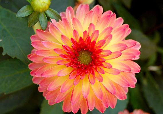 A dália - Dahlia -, ha napos - különösen, ha déli fekvésű - helyen ülteted el, virágok tucatjaival kápráztat majd el.