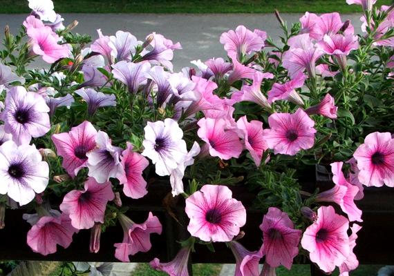 A petúnia - Petunia - gyors növekedésű növény, mely a napos vagy félárnyékos, széltől védett helyeket kedveli. Egészen őszig díszíti majd a balkont.