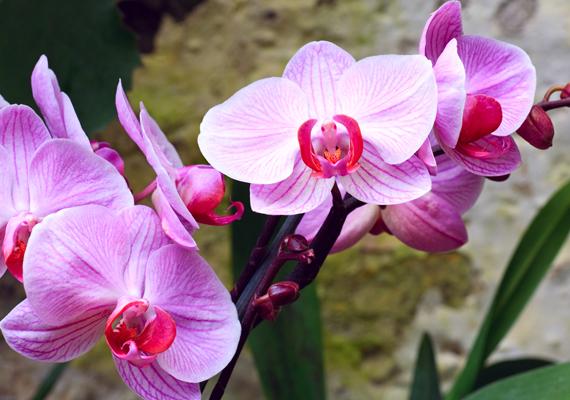 A hatodik hely az örök kedvenc orchideáé. Kattints ide a háttérképért!