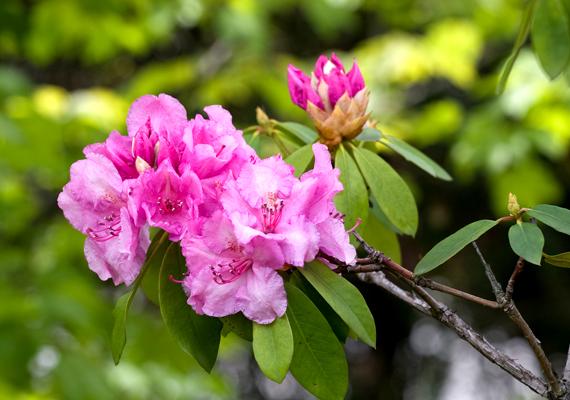 Ezt követi a csodaszép színekben pompázó rododendron. Kattints ide a háttérképért!