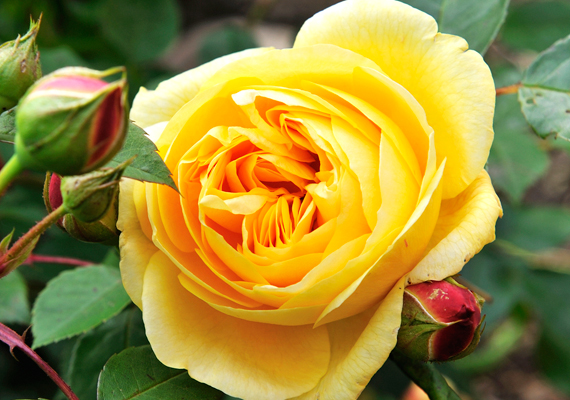 A dobogó első helyén a virágok királynője, a rózsa áll. Kattints ide a háttérképért!