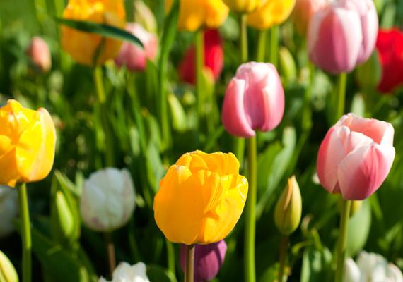 Harmadik helyen a tavasz egyik legszebb képviselője, a tulipán áll. Kattints ide a háttérképért!