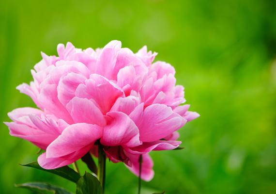 A bazsarózsa hatalmas virága finom szirmokból áll, sokféle színben nevelhető. Szívesen használják parfümökhöz is. A nagyméretű képet innen töltsd le.