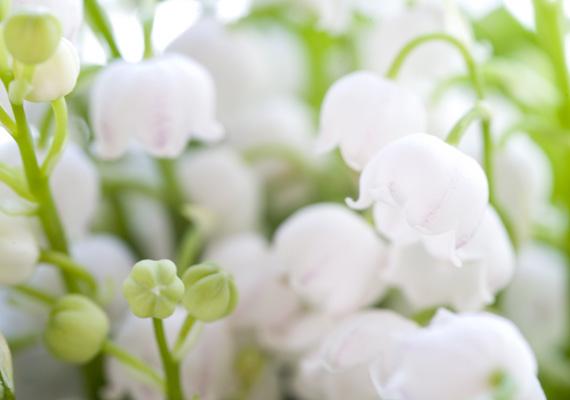 A gyöngyvirág szerényen megbújik a nagy, zöld levelek között, de az illatáról messziről észrevehető. Érdemes nagy mennyiségben ültetni. Külön jó tulajdonsága, hogy szereti az árnyékot. Háttérképnek innen mentsd le.