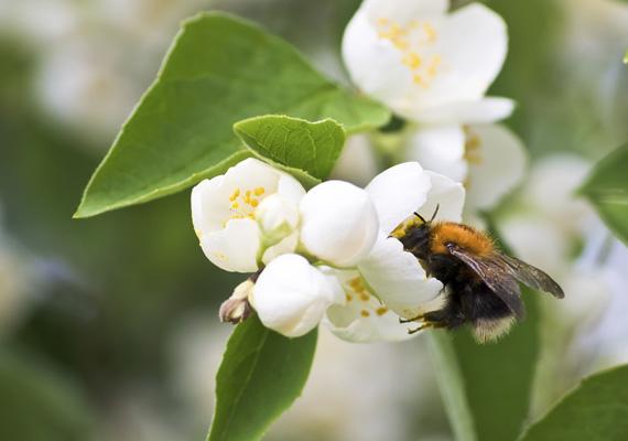 A jázminbokor virágzáskor vonzza a méheket és persze mindenki mást is, hiszen nehéz ellenállni a bódító illatnak. A nektárvadászatot innen töltheted le nagy méretben.