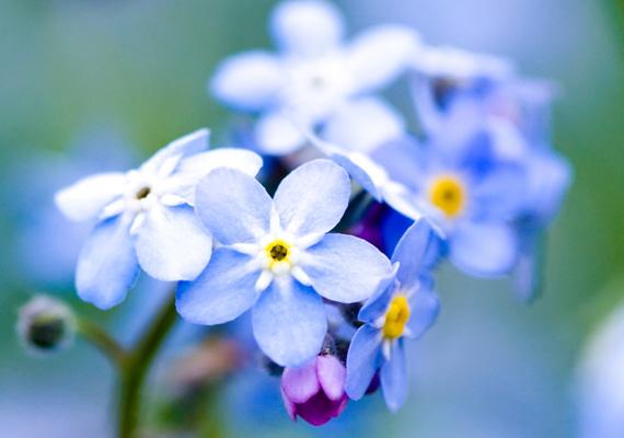 Kedves kerti virág a nefelejcs, amivel régen a szerelmesek üzentek egymásnak. A monitorodra itt töltheted le.