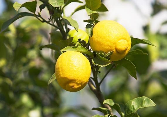 A citromfa tipikusan a mediterrán országok gyümölcse, így, ha ilyet ültetsz az erkélyre, nemcsak a hangulatot teremtheted meg, de még friss gyümölcsöd is terem a fa.