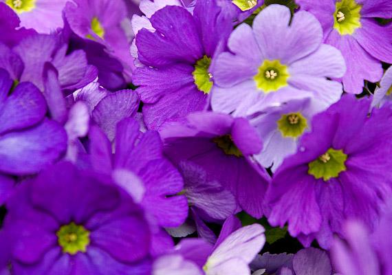 A szobai kankalinnak - Primula obconica - a levele és a hajtása is mérgező benzokinonszármazékot, primint tartalmaz. A levélszőrök tövében található apró mirigyek tejnedve maró hatással lehet a bőrre: viszketést, bőrpírt, rosszabb esetben hólyagokat okozhat.
