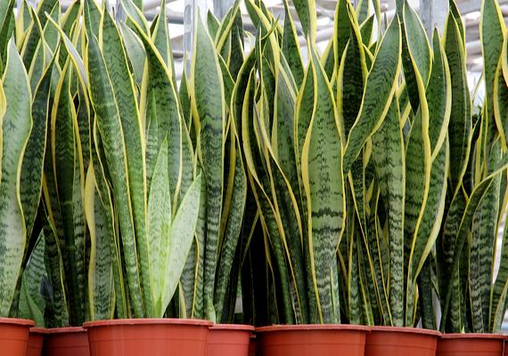 Az anyósnyelv - Sansevieria - is okozhat ilyen tüneteket, leveleinek megrágása és lenyelése allergiás reakciót válthat ki, valamint görcsöket, komoly emésztési problémákat okozhat.
