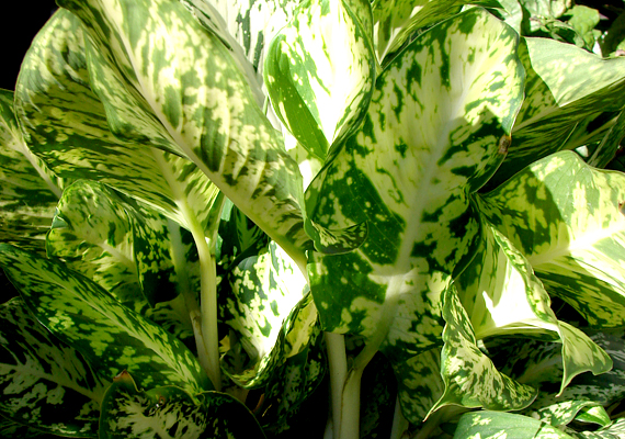 A buzogányvirág - Diffenbachia - az egyik leginkább mérgező szobanövény, és ez minden részére igaz, ugyanis többek között oxálsavat tartalmaz. A benne található mérgező anyagok erőteljesen irritálhatják a nyálkahártyát, a száj külső és belső részein is duzzanatot okozhatnak. Az égő, maró érzéshez társulhat nyelési nehézség és beszédképtelenség is. Ha hasonlót tapasztalsz, hívj orvost, addig pedig segíthet a bőséges folyadék.