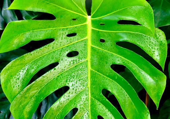 A filodendron vagy könnyezőpálma - Monstera deliciosa - esetében a virág, illetve a légzőgyökér mérgező, nem véletlen, hogy a növényt egyes őserdei törzsek nyílméregként is felhasználták. A diffenbachiához hasonlóan ez a növény is komoly bőrtüneteket és nyálkahártya-irritációt okozhat.