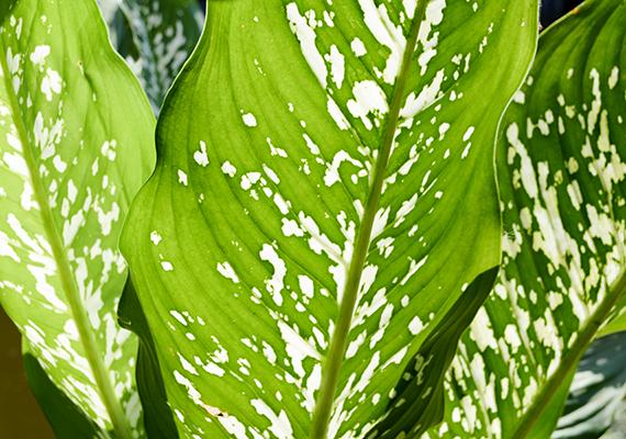 A buzogányvirág - Diffenbachia - szintén az egyik leginkább mérgező szobanövény. A benne található anyagok - többek között az oxálsav - irritálhatják a nyálkahártyát, és duzzanatot okozhatnak, lenyelve pedig nyelési nehézséget és beszédképtelenséget is eredményezhetnek.