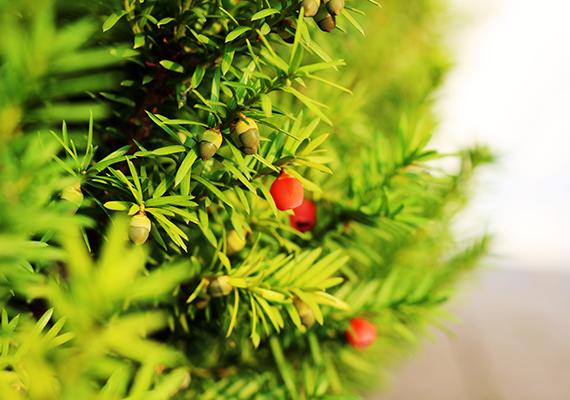 A tiszafa - Taxus - szintén a legnagyobb kockázatot jelentő növények közé tartozik, amelynek minden része erősen mérgező. A mérgezési folyamat ráadásul nagyon gyorsan zajlik le, többek között szédülést, görcsöket, szapora szívverést, valamint légzésbénulást okozva.