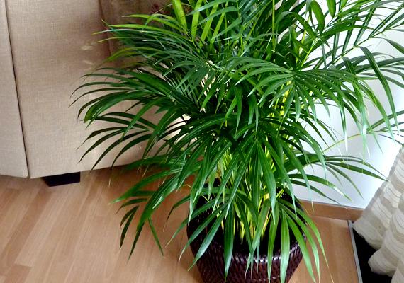A zöld szobanövények is igazi hangulatvarázslók: egy fiatalabb pálmát már 3-4000 forintért megvehetsz a virágpiacokon.