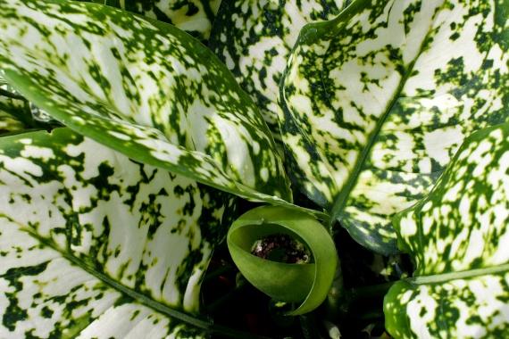 A rákvirág - Aglaonema - az egyik legnépszerűbb árnyékkedvelő növény. A félárnyékot kedveli, hiszen természetes élőhelyén is ilyen körülmények között található meg, ugyanakkor erősebb megvilágításánál is jól fejlődik. Igényli azonban a meleget, 20-30 fok körüli legyen a hőmérséklet, és figyelj arra is, hogy ne legyen száraz a levegő. Télen mérsékeltebben kell locsolni, nyáron gyakrabban, kényes azonban a vízre, a legjobb, ha megnedvesített agyaggolyókat teszel a cserepe alá.