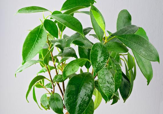 Előbbi könyv szerzője a fikuszt - Ficus - is a legjobbak között említi -, ugyanis a levegő negatív energiáját leveleiben gyűjti össze. Ha utóbbiak megtelnek, lehullanak.