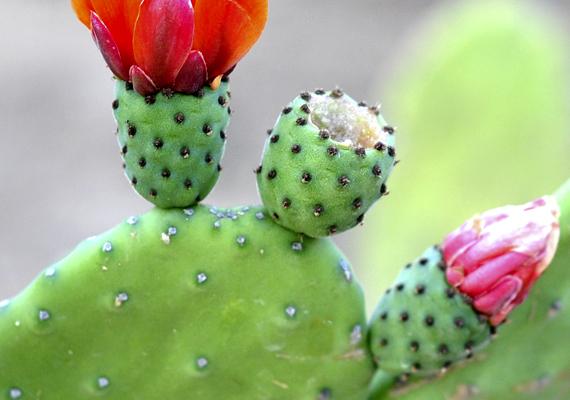 A medvetalp kaktusz - Opuntia - is hatásosnak számít.