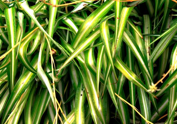 Csakúgy, mint a zöldike - Chlorophytum comosum -, amely a sugárzás és a szennyeződések szempontjából is tisztítja a lakás levegőjét.