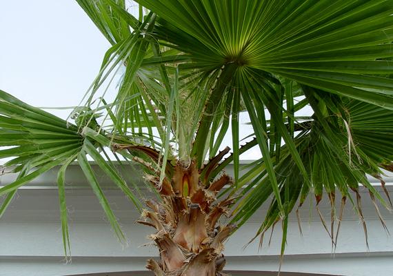 Az otthonodban jelen lévő elektroszmog ellen a Washington-pálma - Washingtonia robusta - is jó választás, nem beszélve arról, hogy hangsúlyos és dekoratív lakáskiegészítő is egyben.