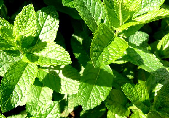 A házi fűszernövények jó szolgálatot tehetnek a konyhában, emellett illatanyagaik révén a rovarokat is képesek távol tartani. Igaz ez a borsmentára is - Mentha piperita -, mely a szúnyogokat és a legyeket is elriasztja.