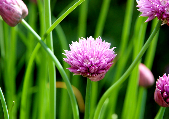 A tetvek és más apró kártevők ellen a metélőhagymát - Allium schoenoprasum - is bevetheted, akár külön ülteted el, akár már virágok dézsájába teszel belőle egy keveset.