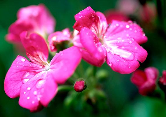 A klasszikus muskátli - Pelargonium - nemcsak gyönyörű dísze lehet a kertnek vagy erkélynek, de a szúnyogokat és a darazsakat is távol tartja.