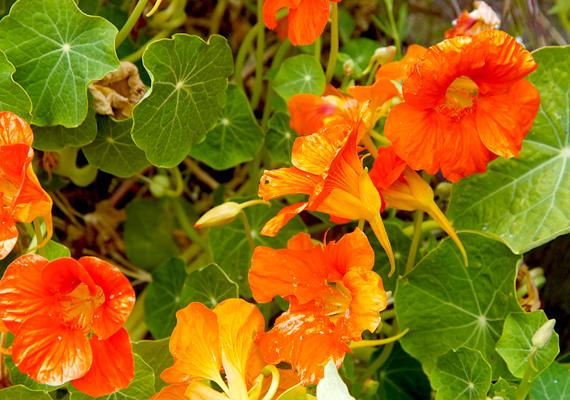 A sarkantyúvirág - Tropaeolum majus - elűzi a hangyákat, emellett a csigákat, a levéltetveket és a káposztalepke hernyóit a többi növénytől is távol tartja.